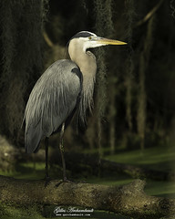 Great Blue Heron - Grand héron (Gilles Archambault) Tags: greatblueheron grandhéron