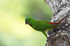 _5009415 (K S Kong) Tags: nikon200500mmf56e parrot