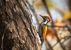 Golden back woodpecker. (no never no more) Tags: outdoor india nirmalya photography himalayas woodpecker uttarakhand wild travel nikon iamnikon nature tree habitat wildlife forest interesting copyright morning 2017