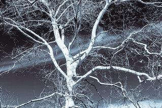 Branches and sky - toned mono