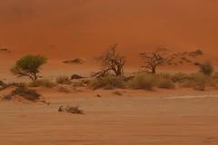 Life in the desert (José Rambaud) Tags: duna dune desert desierto namibia namib namibdesert africa arena sand dunas dunes red rojo landscape paisaje paisagem paysage tree arbol arboles naturaleza nature natura natureza viaje traveler travel traveller