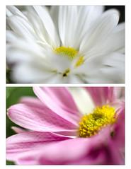 Daisy Dual (L E Dye) Tags: 20mmextensiontube alberta canada d5100 diptych floral ledye macro nikon spring flower