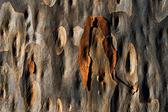Flaking bark (gnarlydog) Tags: konicahexanon45mmf18fixedrf manualfocus refittedlens adaptedlens vintagelens bark closeup australia detail abstract texture nature gumtree warmlight