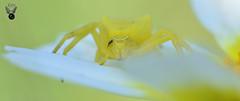 ARAÑA CANGREJO 08 (JuanMa-Zafra) Tags: araña cangrejo thomisus macro d7100 105mm nikon flash reflector difusor zafra extremadura margarita flores campo primavera