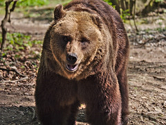 Eye to eye.... (diarnst) Tags: outdoor säugetier bär bear animal tier braunbär