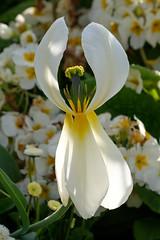 Tulip Exposed (MattCCttaM) Tags: flower petals delicate tulip stamen border white