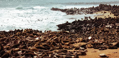 Guess they missed the 'no nude bathing' signs (simonjmarlan) Tags: seal ocean waves beach surf animals africa namibia