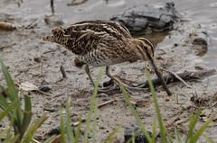 Gallinago (Jacko 999) Tags: bird snipe feather feathers gallinago canon eos 7d mark ii ef100400mm f4556l is usm ƒ71 4000 mm robert eede stodmarsh