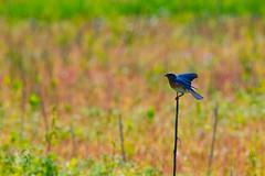 Bluebird Landing (tophermyers) Tags: springfield missouri unitedstates us bluebird blue bird