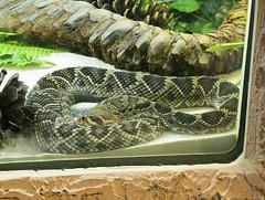 Memphis Zoo 08-31-2016 - Diamondback Rattlesnake 1 (David441491) Tags: memphis reptile