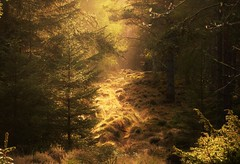 Hazy Sunlight..x (Lisa@Lethen) Tags: sunlight wood trees nature pine scotland spring outdoor