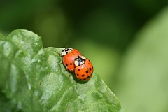 Give me a little help my friend (only_sepp) Tags: primavera coccinelle allnaturesparadise verde prati parcocolonnetti nichelino inamore