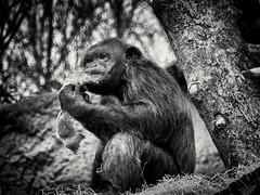 Der Denker (Helmut Reichelt) Tags: bw sw schimpanse urwaldhaus märz frühling münchen zoo tierpark hellabrunn oberbayern bavaria deutschland germany panasonic lumix fz200 captureone10 silverefexpro2