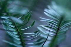 green comb (gnarlydog) Tags: abstract nature ferns plant adaptedlens refittedlens projectionlens cabin85mmf28 closeup reflection texture blurred bokeh shallowdepthoffield pattern vintagelens