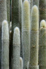 20170328_Dense_spines_0001 (jnspet) Tags: cactus silvertorchcactus woolytorchcactus cleistocactusstrausii spines plant pattern texture outdoor straight prickly furry cacti