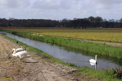 CDD2538 (Fransang) Tags: zwarte witte zwanen loosterweg voorhout lisse black swans white