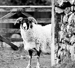 Who are Ewe looking at?....HFF :)..x (shona.2) Tags: nikon scotland pentlands ewe sheep bw mono hff friday fence