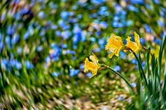 _DSC5370 Dafodils (Charles Bonham) Tags: daffodils bokeh swirl swirlbokeh purple yellow flowers plant outdoor garden dowgardens midlandmi sonya7r sonyfe2890mmmacrogoss charlesbonhamphotography twist hss spring groundcover