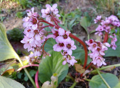 lovely (Suzanne's stream) Tags: bergenia wildpflanze garten frühling spring flower blooming