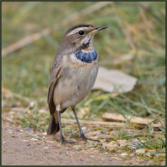 Bluethroat (image 1 of 3) (Full Moon Images) Tags: willow tree wildlife trust nature reserve bird bluethroat