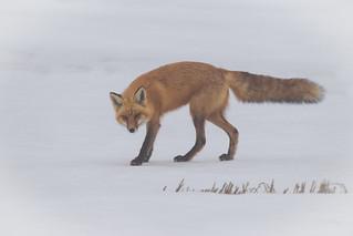 Hunting Red Fox | Vulpes vulpes | Renard rouge