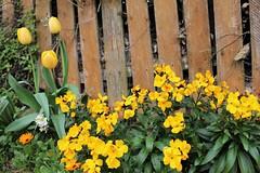 Wallflower Fence (JulieK (enjoying Spring in Co. Wexford)) Tags: 100flowers2017 hff fence wallflowers tulip yellow duncannon ireland irish canoneos100d