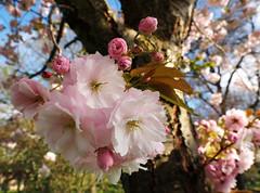 Blossom Lambeth Cemetery -Tooting (#Dave Roberts#) Tags: lambeth cemetery tooting london spring april 2017 blossom prunus flower