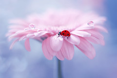 Tea break....🌸🐞 (ElenAndreeva) Tags: red beauty spring color sun light rain summer bokeh cute colors 500px insect canon pink garden top dream dandelion composition fantasy sweet bug best amazing nature photograph macro flower ledybug portrait petal drop rose purple pretty blossom dof tones today blue close closeup ladybug lovely lighting elegant colorful creative focus fogg