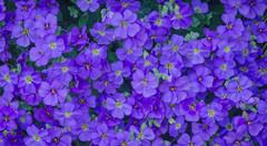 Spring flowers (frankmh) Tags: plant flower spring hittarp skåne sweden outdoor