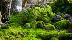 Moss on a tree (Matthieu Toulemonde) Tags: forest ashridge park england sony rx10 tree wood moss lichen
