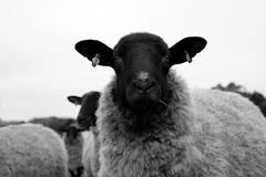 Ewe (Megan Tregoning) Tags: ewe sheep spring lambing countryside suffolk farm livestock animal