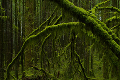 Hanging Moss (Kristian Francke) Tags: moss mossy green hanging plant plants tree trees forest outdoors nature natural bc canada britishcolumbia scenic scene scenery pentax