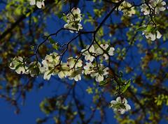 Dogwood (davidwilliamreed) Tags: dogwood plant flowers blooms leaves dof nature backlighting
