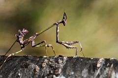 Le diablotin  insecte majestueux (Doriane Boilly Photographie Nature) Tags: macro insecte diablotin nature prairie extérieur nikon sigma 150
