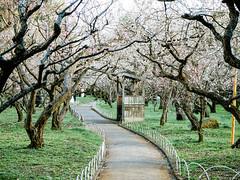 北野天滿宮 梅苑 (Roa!) Tags: 日本 關西 京都 北野天滿宮 梅苑 梅花