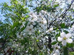 DSCN0219 (serega_moskalev) Tags: вишня цвет вишни цветки cerasus cherry flowers spring