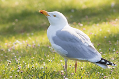 Herring gull - Larus argentatus - zilvermeeuw (Jens Goos) Tags: nature birds animals wildlife birdlife france bretagne britain sea backlight sun sunset gull outdoor travel holidays canon 400mm