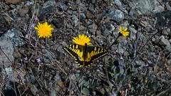 Yellow flowers and yellow butterfly (panoskaralis) Tags: butterfly yellow flower flowers plants macro bugs spring landscape ground outdoor rocky nature green island lesbian lesbos lesvosisland lesvos mytilene greece greek hellas hellenic aegean aegeansea fly cute