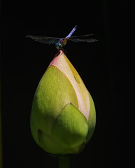 DragonFly_SAF0863-2 (sara97) Tags: copyright©2016saraannefinke dragonfly flyinginsect insect missouri mosquitohawk nature odonata outdoors photobysaraannefinke predator saintlouis towergrovepark waterlily