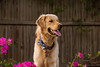 Yogi '17 (R24KBerg Photos) Tags: happy goldenretriever yogi canon pet nc northcarolina dog cute handsome friend portrait bokeh 2017 sweet jowls animal carolinablue bowtie carolina tarheels unc azaleas spring