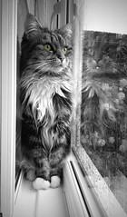 Rainy Reflection (Andy Tee) Tags: cat kitten feline reflection window rain rainy mood black and white selective colour eyes house creative