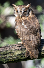 Owl (Silu Junior) Tags: owl eule uhu kauz vogel bird jäger
