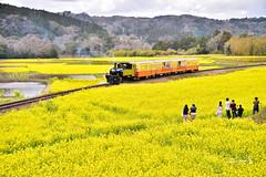 小湊鐵道  KOMINATO RAILWAY (Jennifer 真泥佛) Tags: 小湊鐵道 kominatorailway トロッコ列車 菜の花 菜の花畑