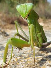 Extraterrestre (Elías Gomis) Tags: sphrodomantis viridis mantis insecto insect calp verde green eliasgomis ngc