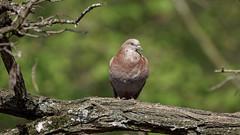 a pigeon on a branch / un pigeon sur une branche  (1) (Franck Zumella) Tags: pigeon bird oiseau branch branche red rouge marron