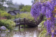 It'll rain a sunny day (PeterThoeny) Tags: saratoga california siliconvalley sanfranciscobay sanfranciscobayarea hakonegardens garden spring flower wisteria blossom wisteriablossom fuji purple outdoor pond lake bridge woodbridge woodenbridge archbridge rain drops raindrop blur bokeh 1xp raw nex6 vintagelens dreamlens canon50mmf095 f095 canon photomatix hdr qualityhdr qualityhdrphotography fav200
