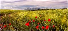 - PRIMAVERA - (Tomas Mauri) Tags: trigoamapola spring wheat poppy naturaleza montserrat trigo amapola tomas catalunya spain verde rojo azul montañademontserrat provinciadebarcelona comarcadelbages primavera sony alfa tamron