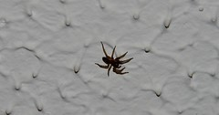 Spider  (1) when i got up this morning i see this on the ceiling (John Carson Essex UK) Tags: thegalaxy thegalaxystars rainbowofnature supersix