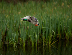Mallard (tyee01) Tags: duck pond portland oregon crystal spring reed college mallard flight landing cattails nikon d500 70200mmf28 drake