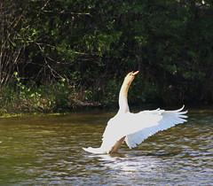 ...nen langen Hals machen (jueheu) Tags: höckerschwan schwan swan weis white grün green water natur natura nature wildlife elegant vogel bird see ahlde emsland niedersachsen deutschland germany